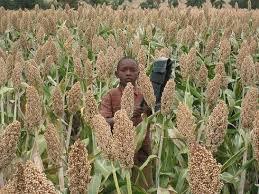 sorghum-uganda