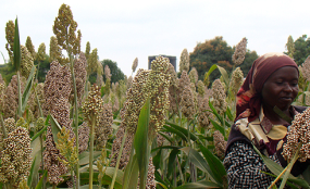 sorghum ethiopia