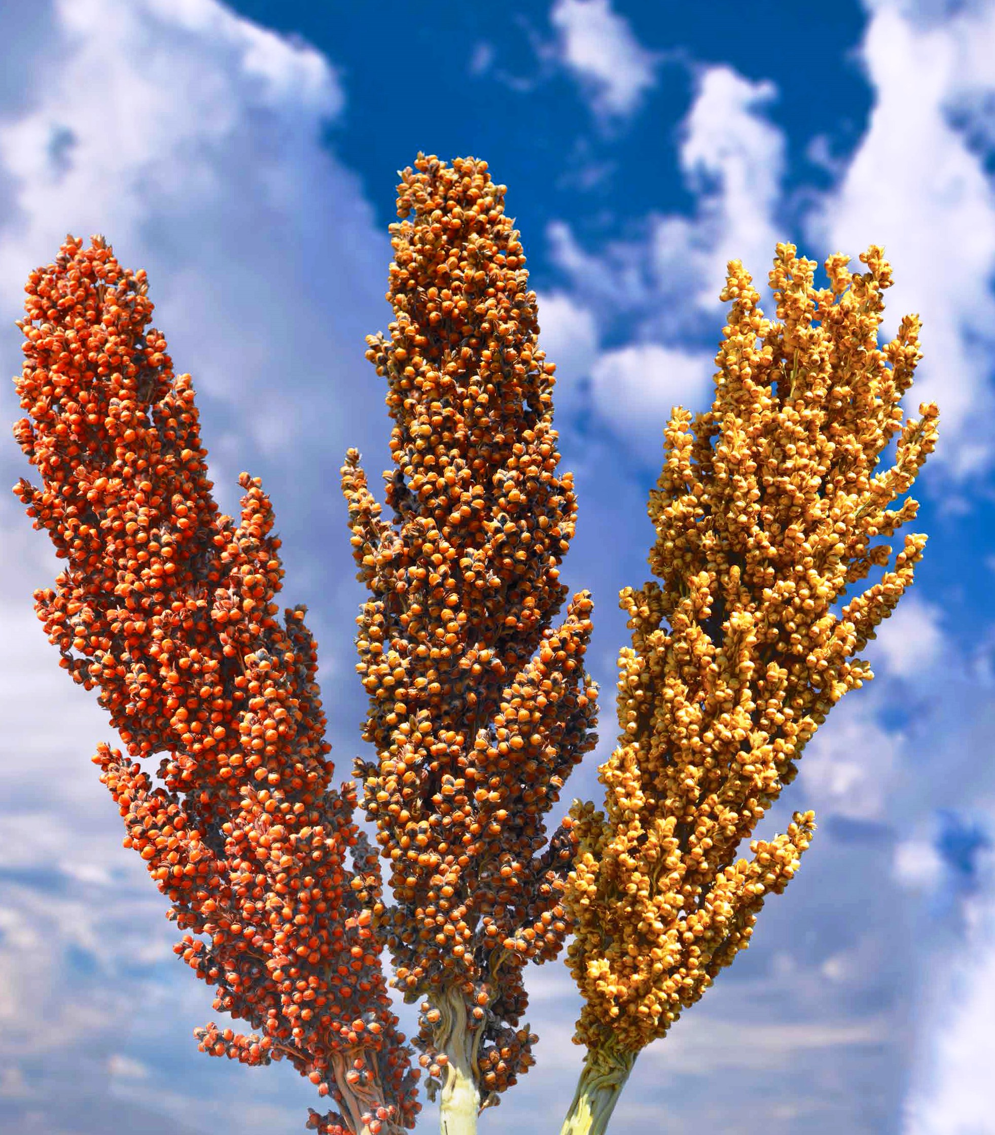news sorghum solutions africa